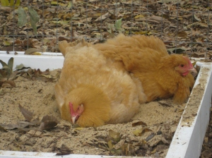 Nugget and Butterscotch enjoy a sand bath.